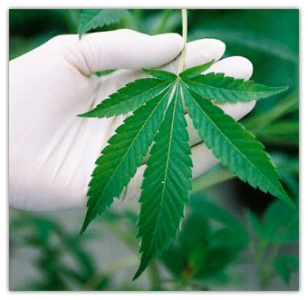 cannabis_naturopatia